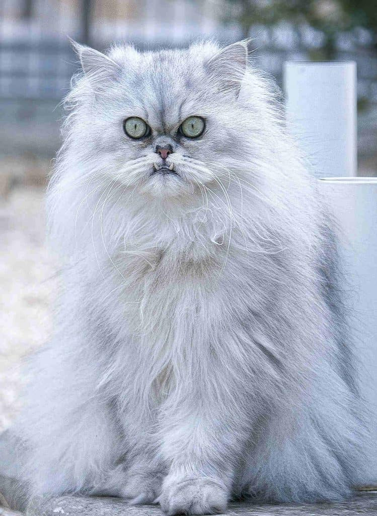 Chinchilla Persian showing its teeth