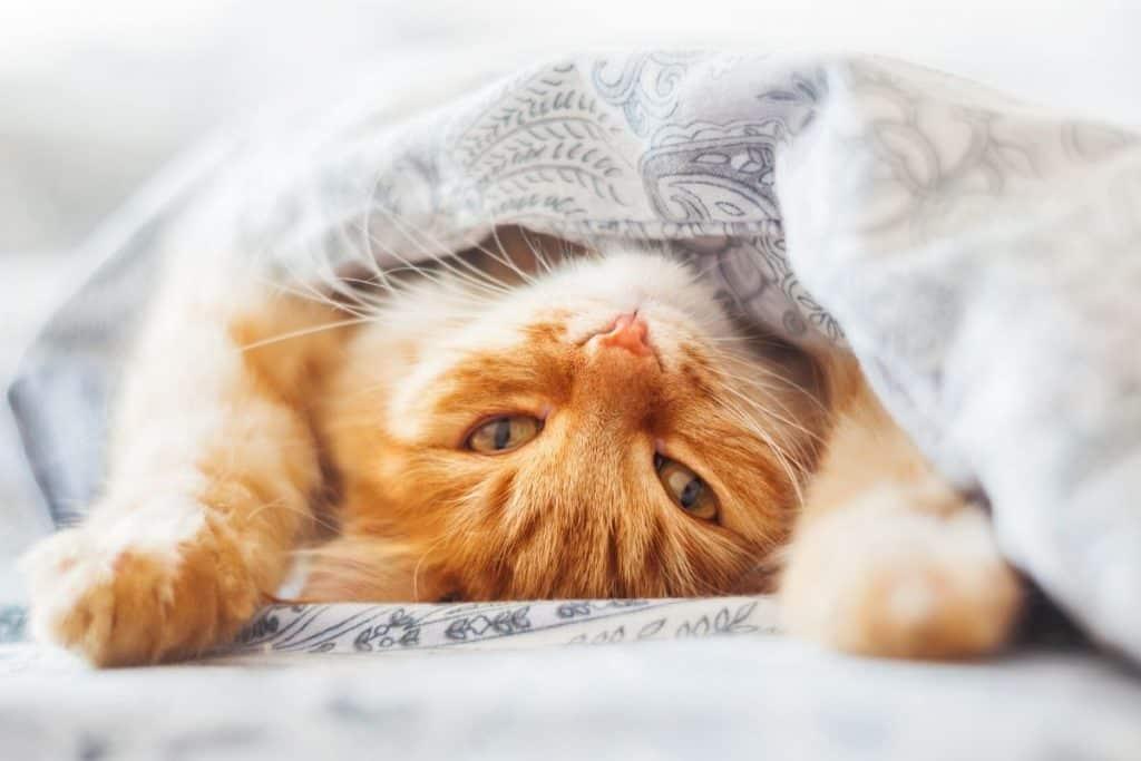 Cat under a quilt