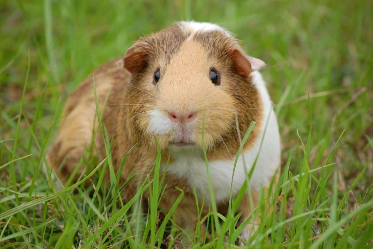 A guinea pig on a lawn of green grass