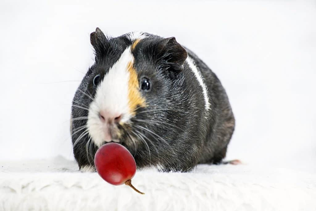 Can guinea pigs eat grapes? Yes they can