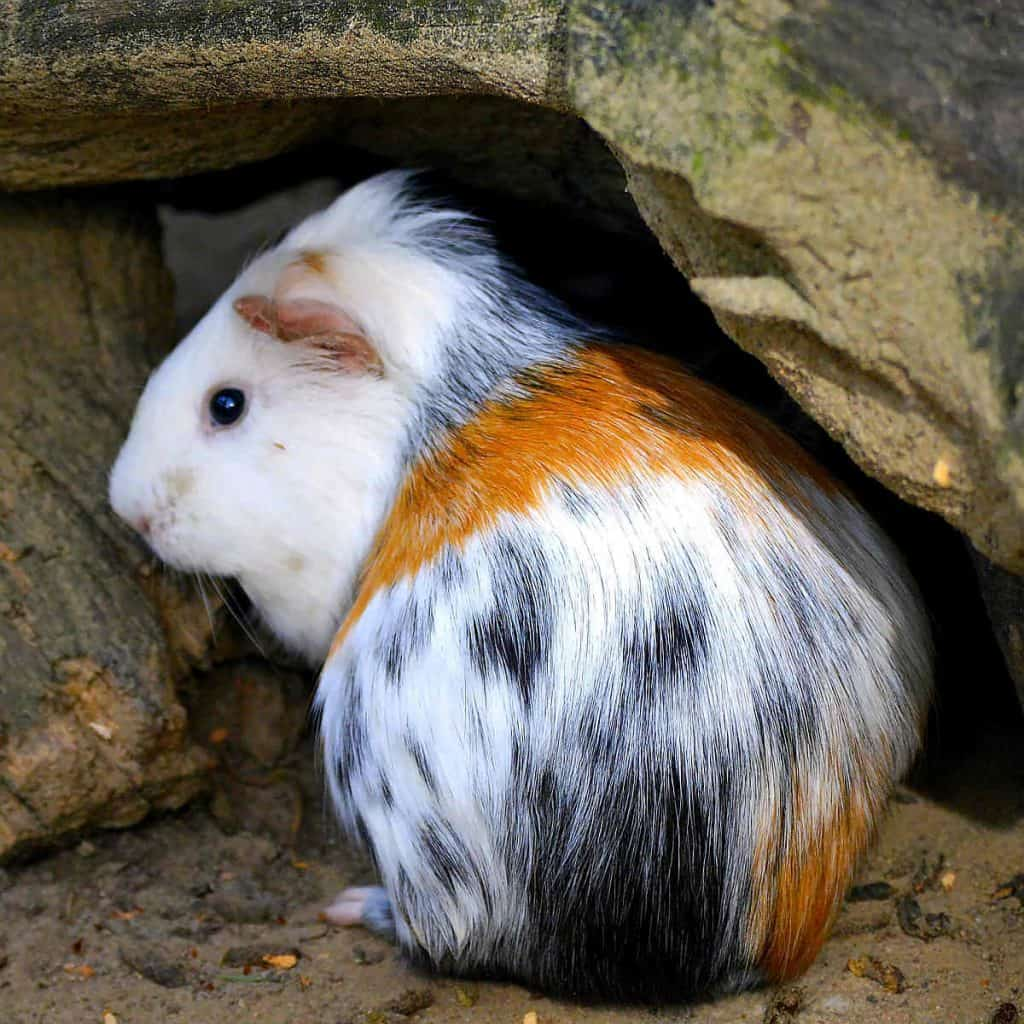 Are guinea pigs nocturnal? No they sleep at various times of day and night
