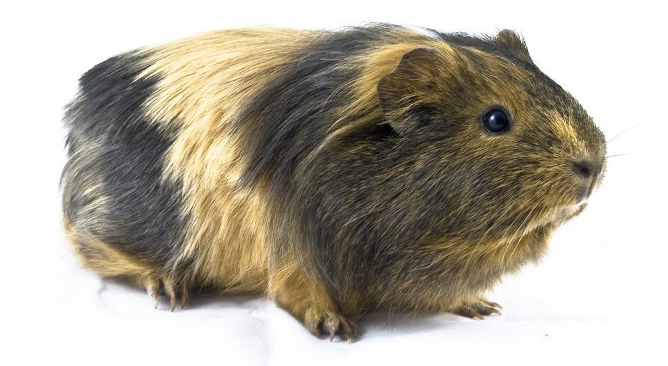 Ginger striped guinea pig