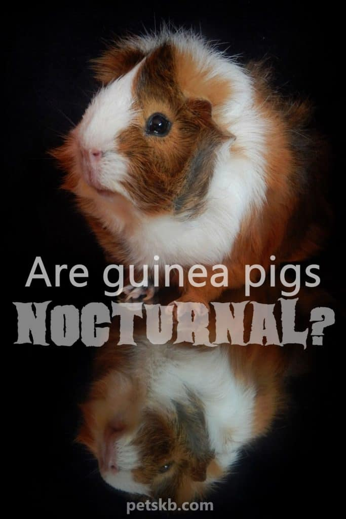 Are guinea pigs nocturnal?