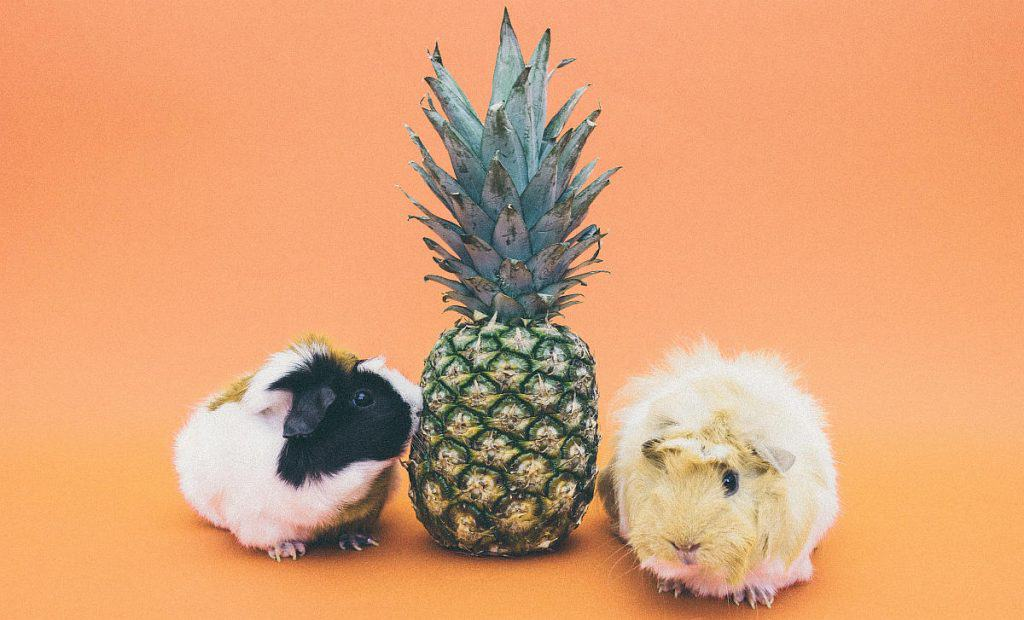 Guinea pigs and a pineapple