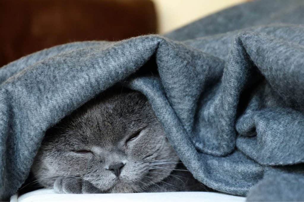 Cat with a felt blanket