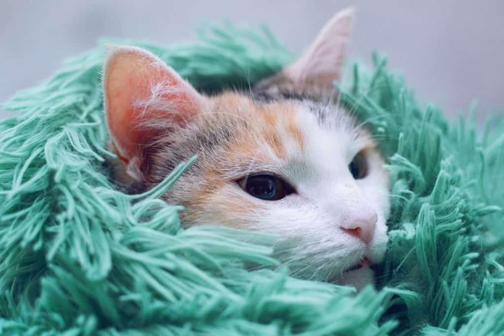 Cat in tufted blanket