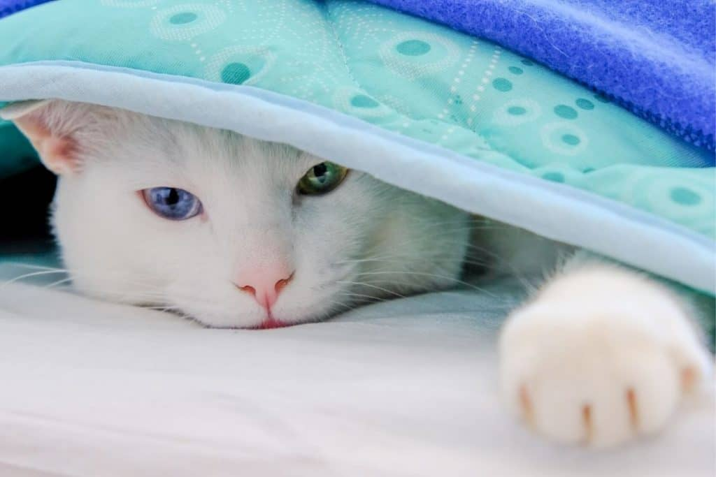 Cat under a fleece blanket