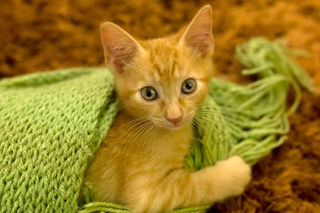Ginger kitten with a green shawl