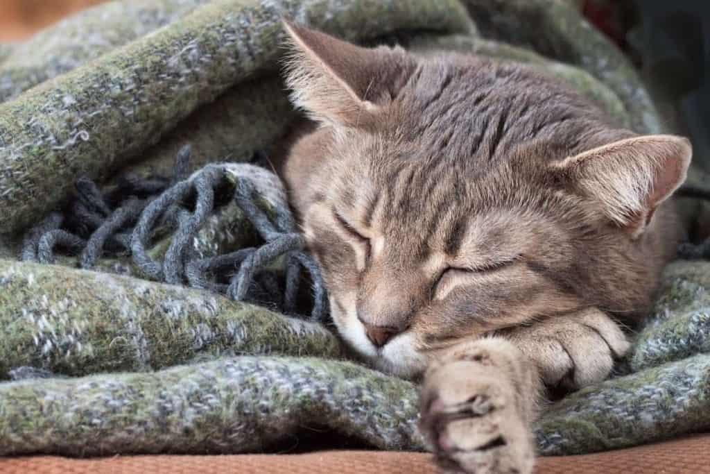 cat asleep in a woolen blanket