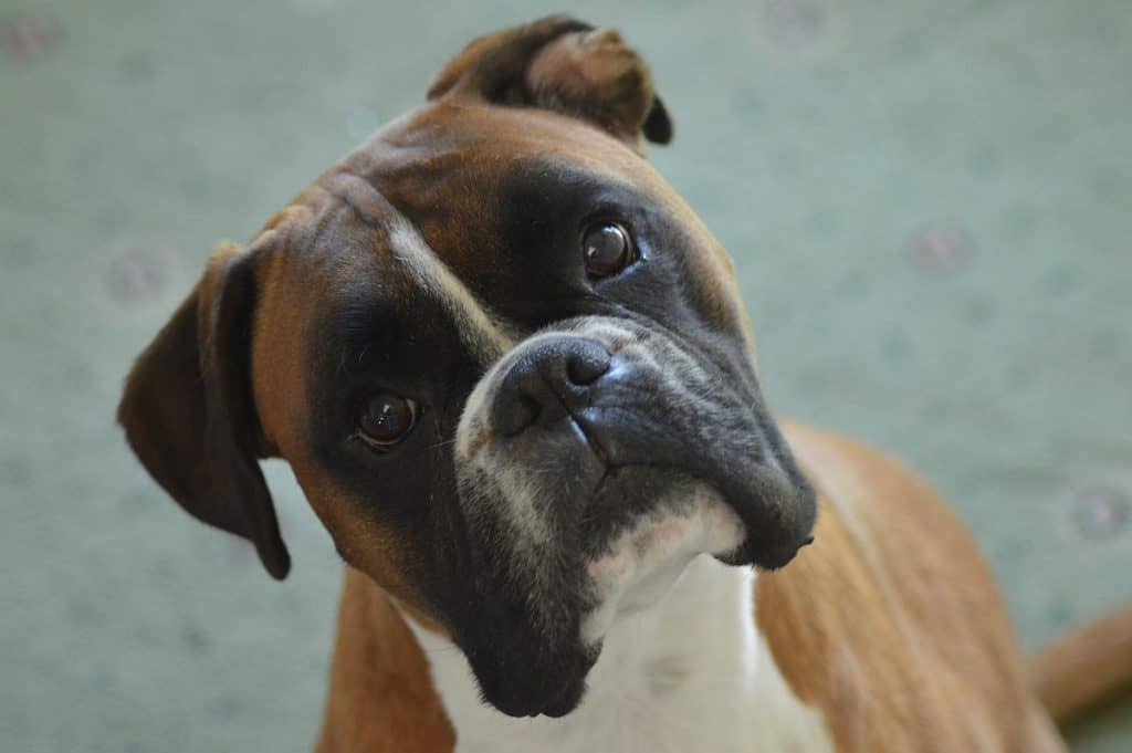 Boxers are lovely family pets