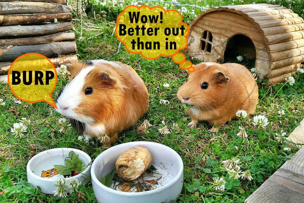 Do guinea pigs burp? Sometimes!