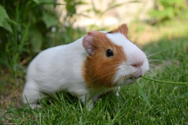 Guinea pigs usually enjoy green beans