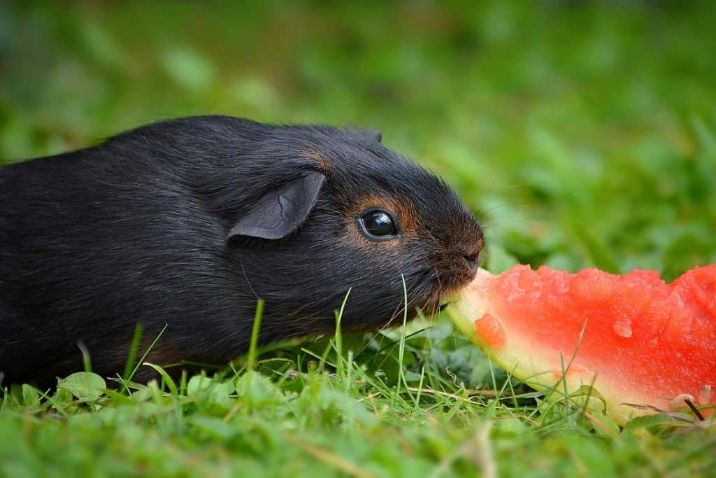 Guinea pigs can eat melon such as cantaloupe in moderation