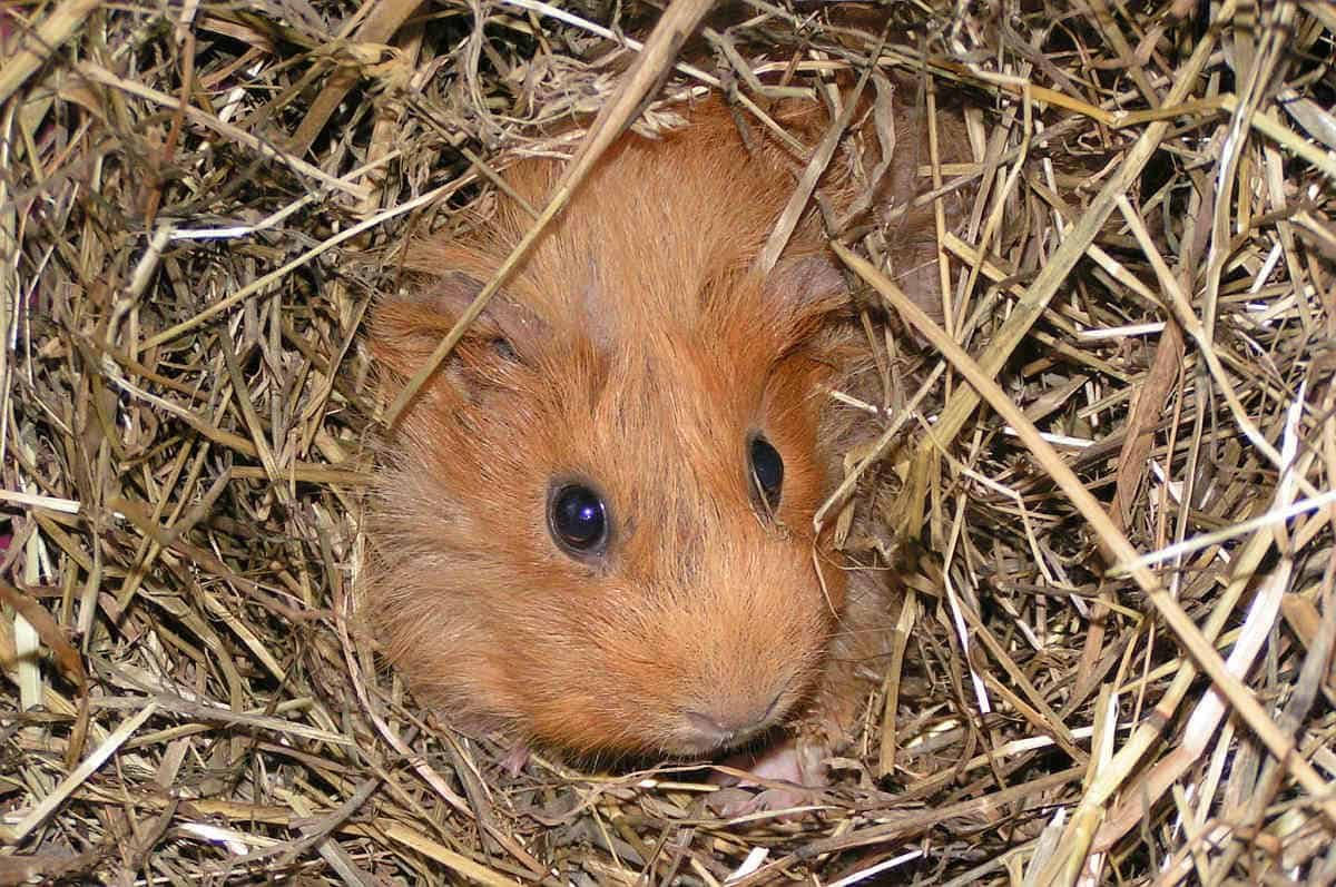 Are guinea pigs nocturnal.? No, they are crepuscular