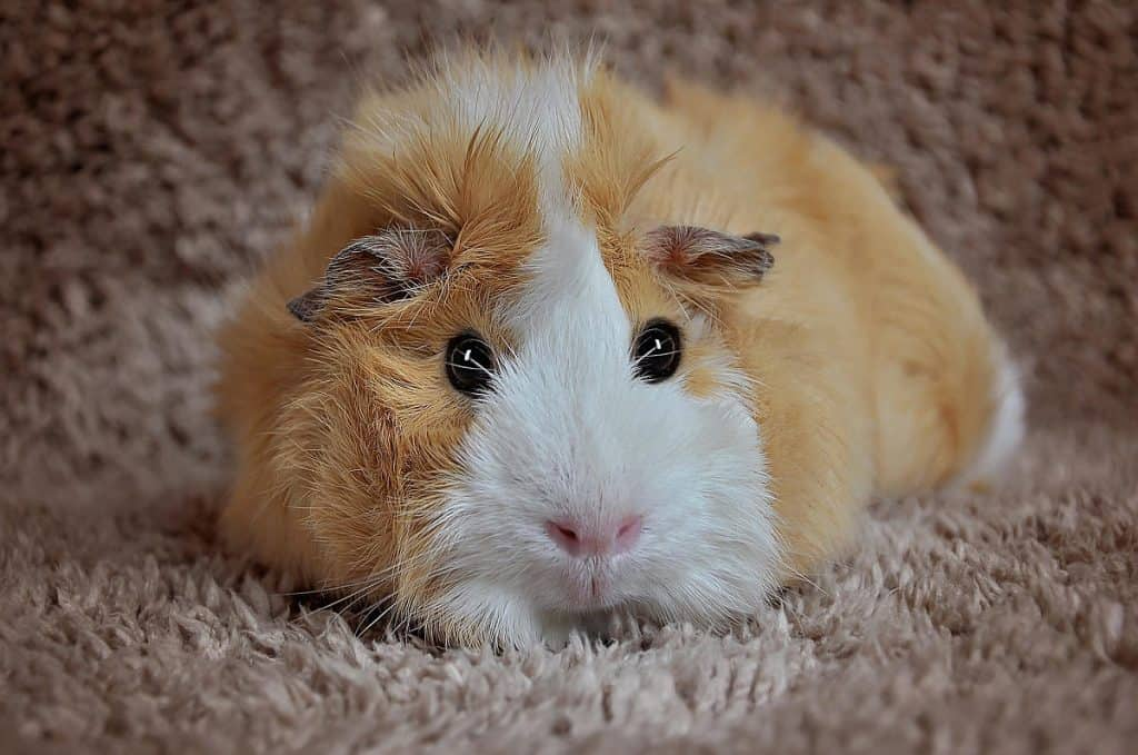 Guinea pig on a rug