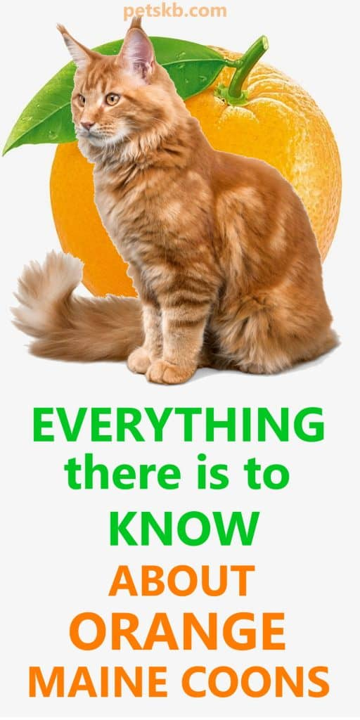 Can a Maine Coon be orange?