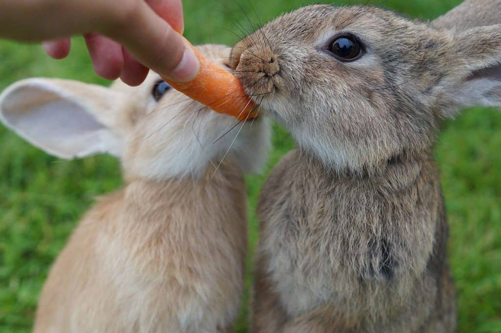 Maybe rabbits should eat carrots not strawberries