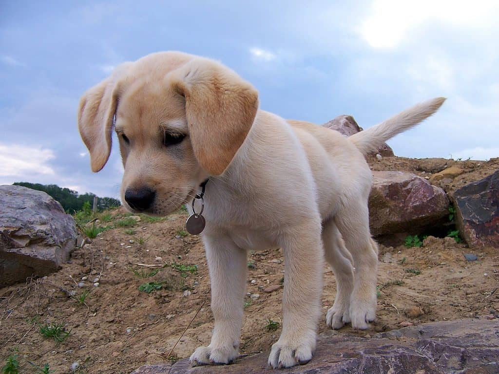 When is a Labrador fully grown – petsKB