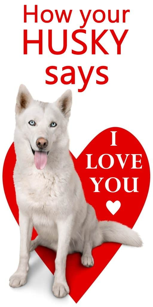 How to tell your Siberian Husky loves you
