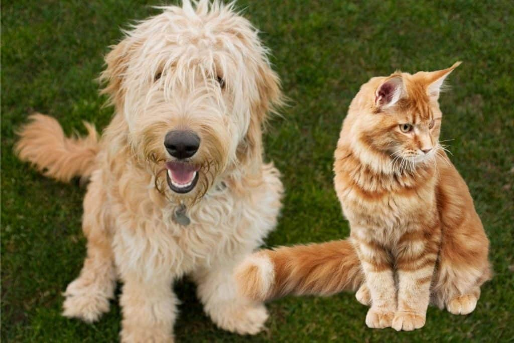 Are Goldendoodles Good With Cats? Ginger cat and ginger goldendoodle
