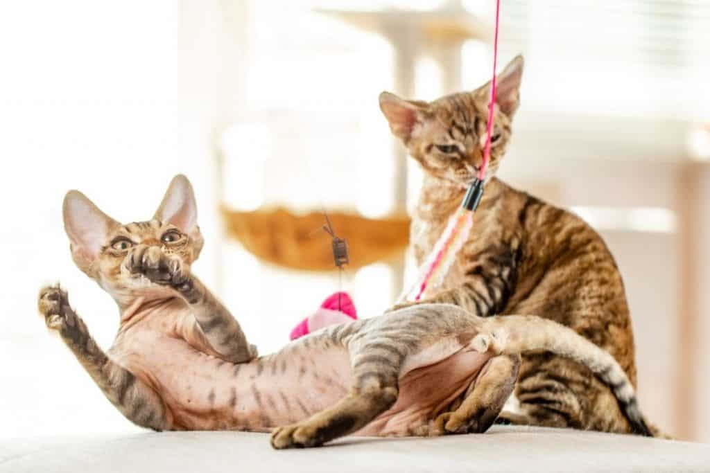 Can Devon Rex cats be left alone? Two keep each other company