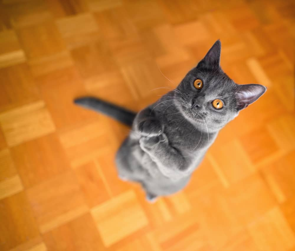 can you train a chartreux cat