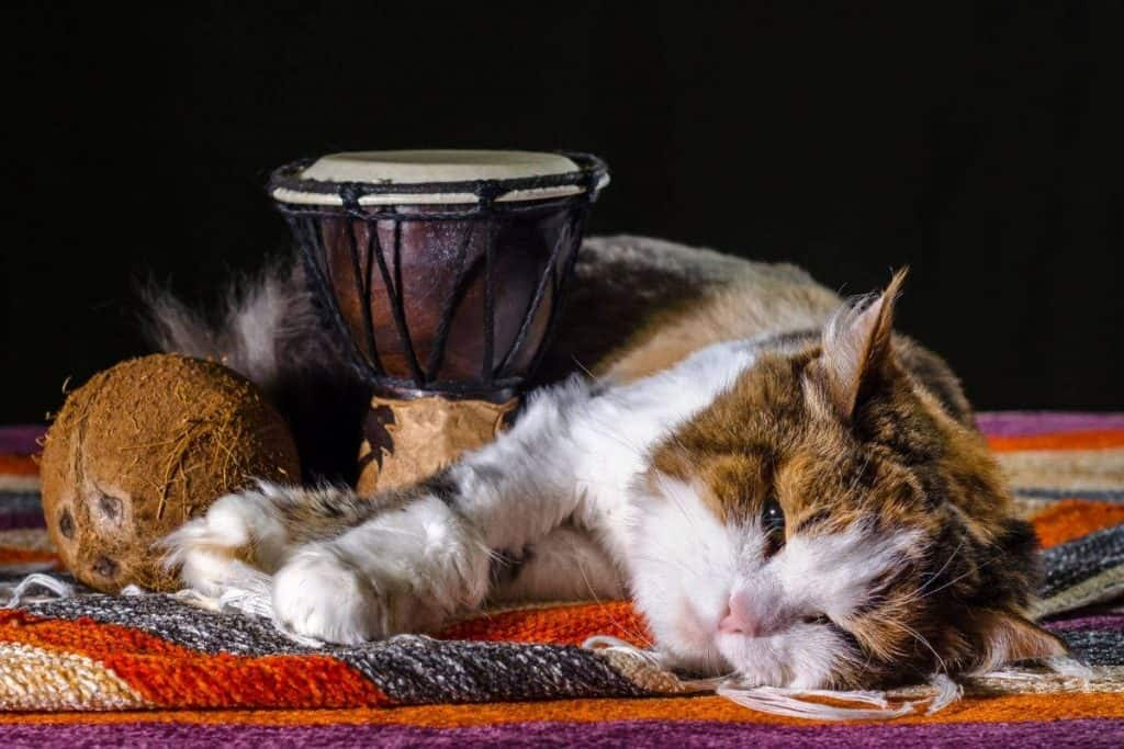 Is coconut oil safe for cats? Cat laying with a coconut