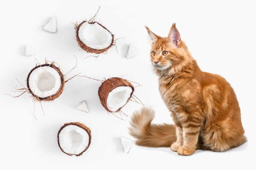 Is coconut oil safe for cats? Ginger cat and coconuts