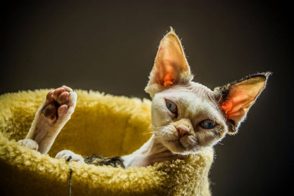 Devon Rex in a bed. Do they shed? Yes!