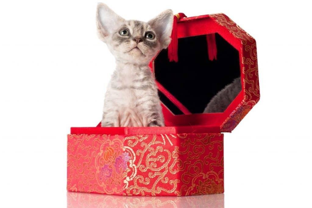 Devon Rex in red box