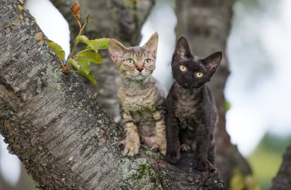 Two Devon Rex cats in a tree. Do Devon Rex cats shed?