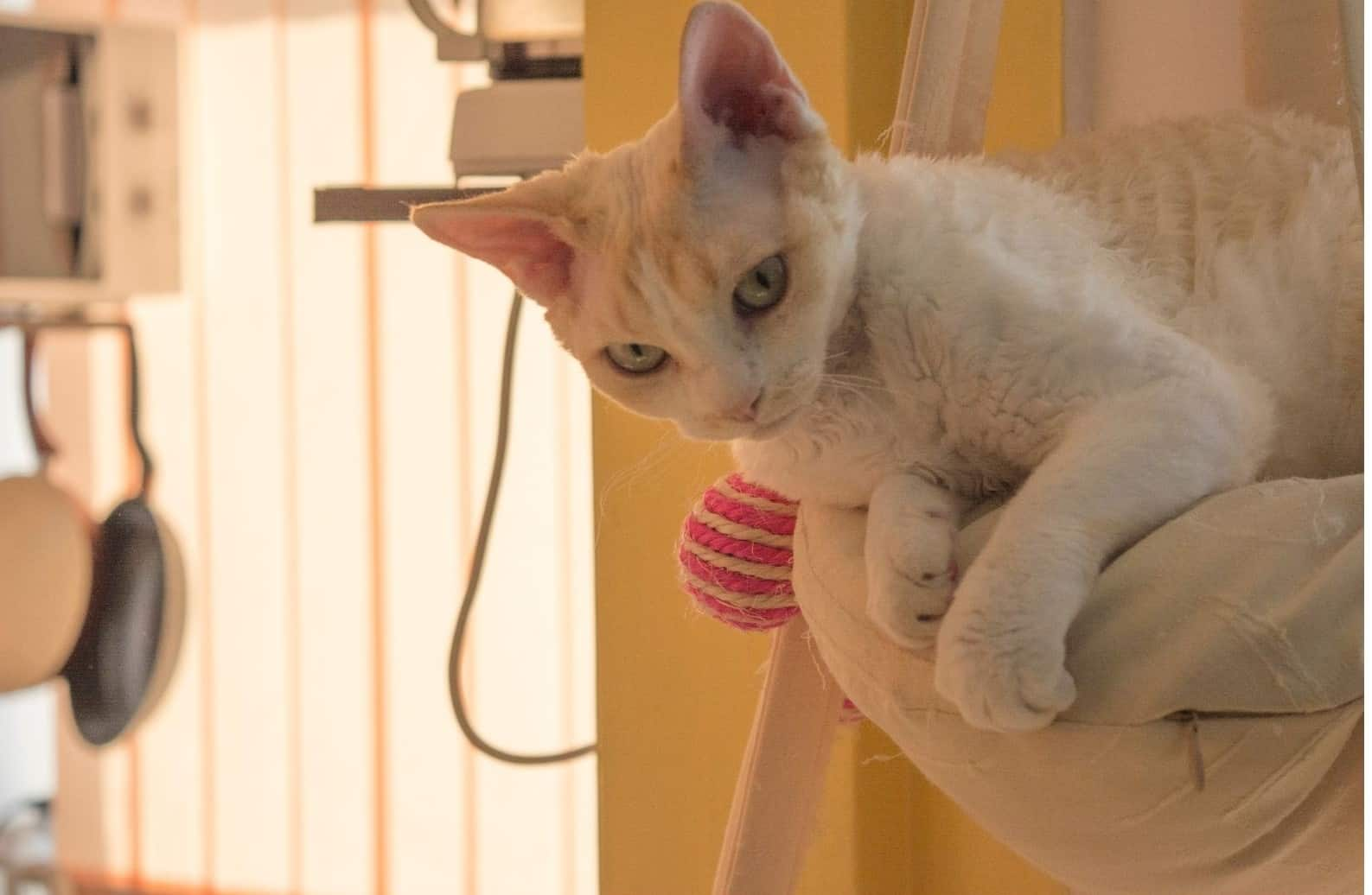 Devon Rex cat on a chair: They shed like all cats