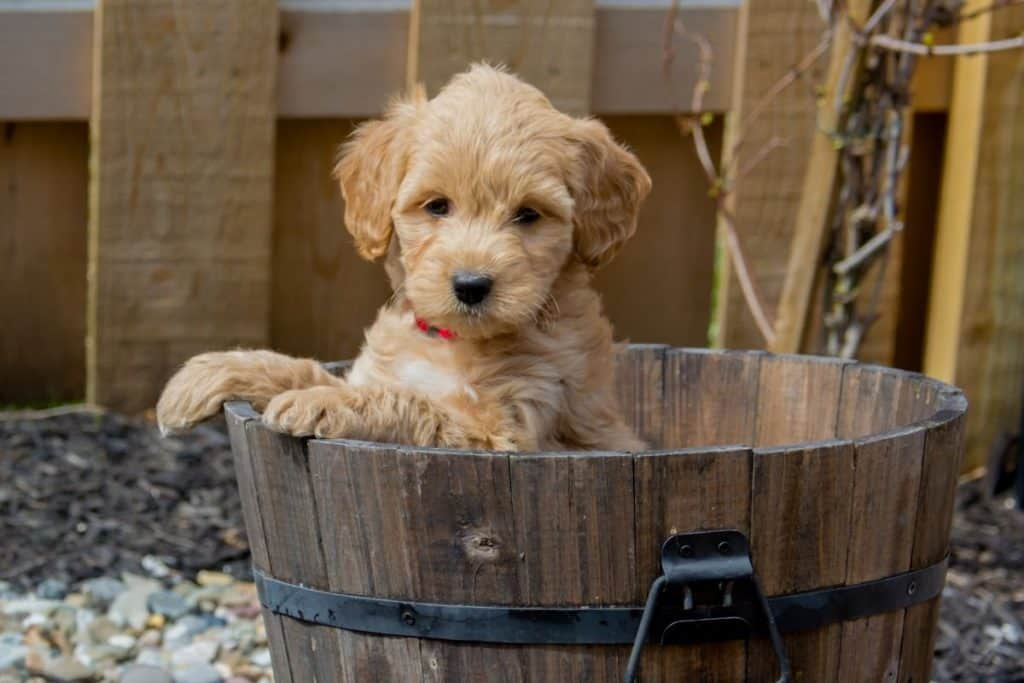 Goldendoodle in a tub