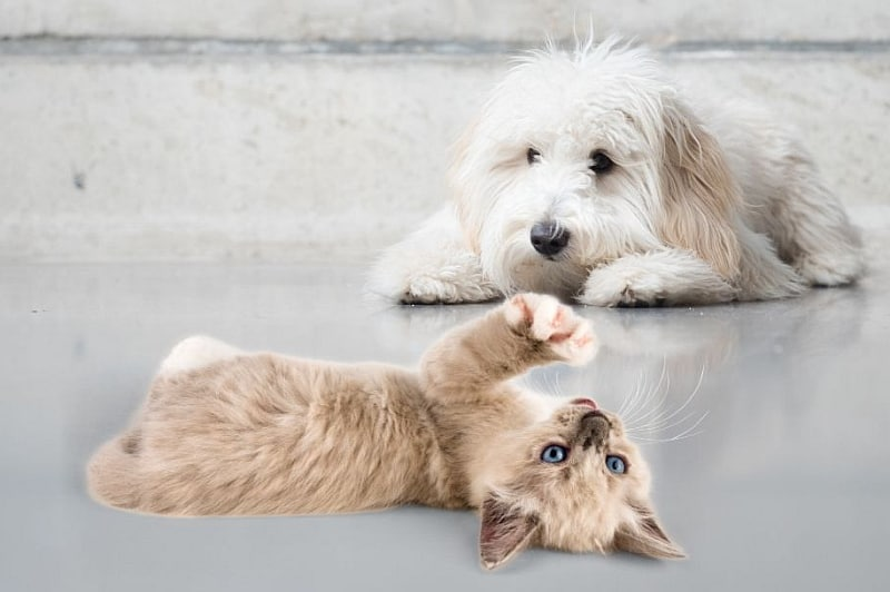 Are Goldendoodles Good With Cats? Kitten and a Goldendoodle