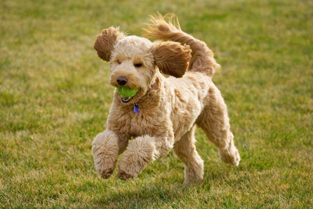 A Goldendoodle running with a ball