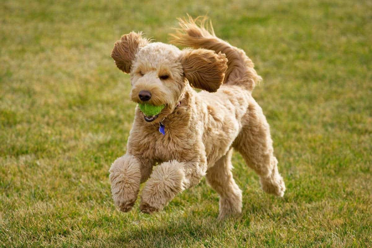 A Goldendoodle running.