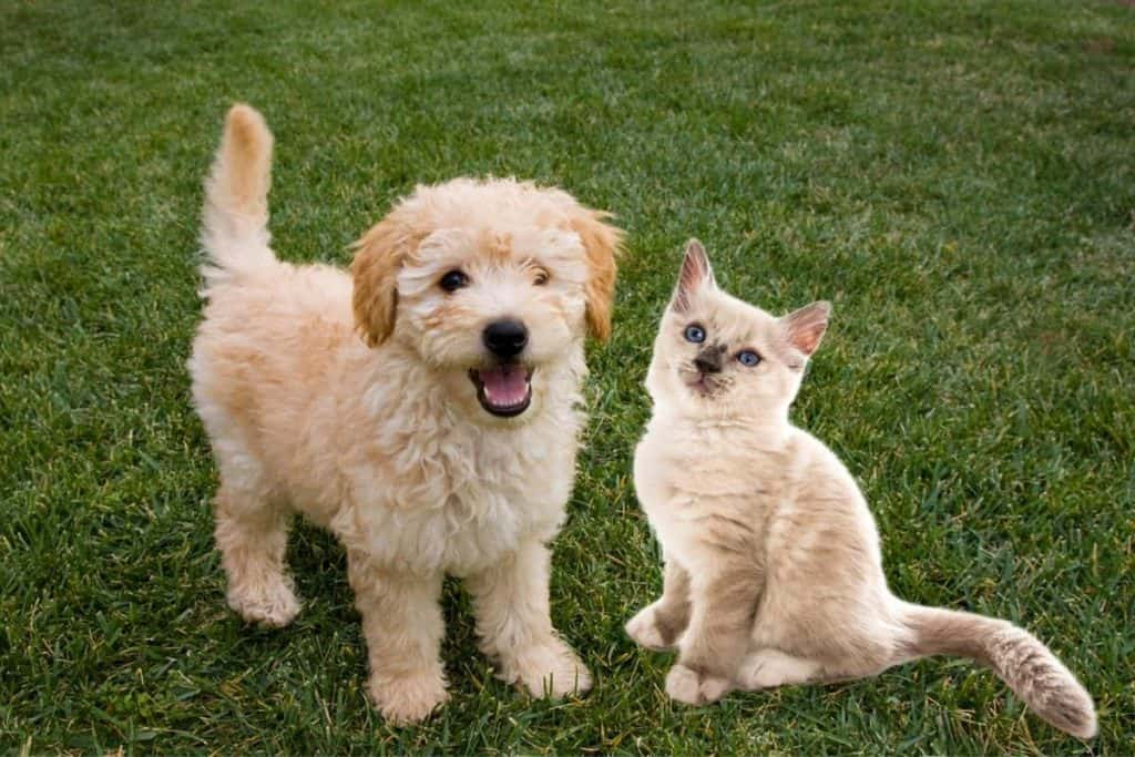 Are Goldendoodles Good With Cats? Goldendoodle puppy with a kitten