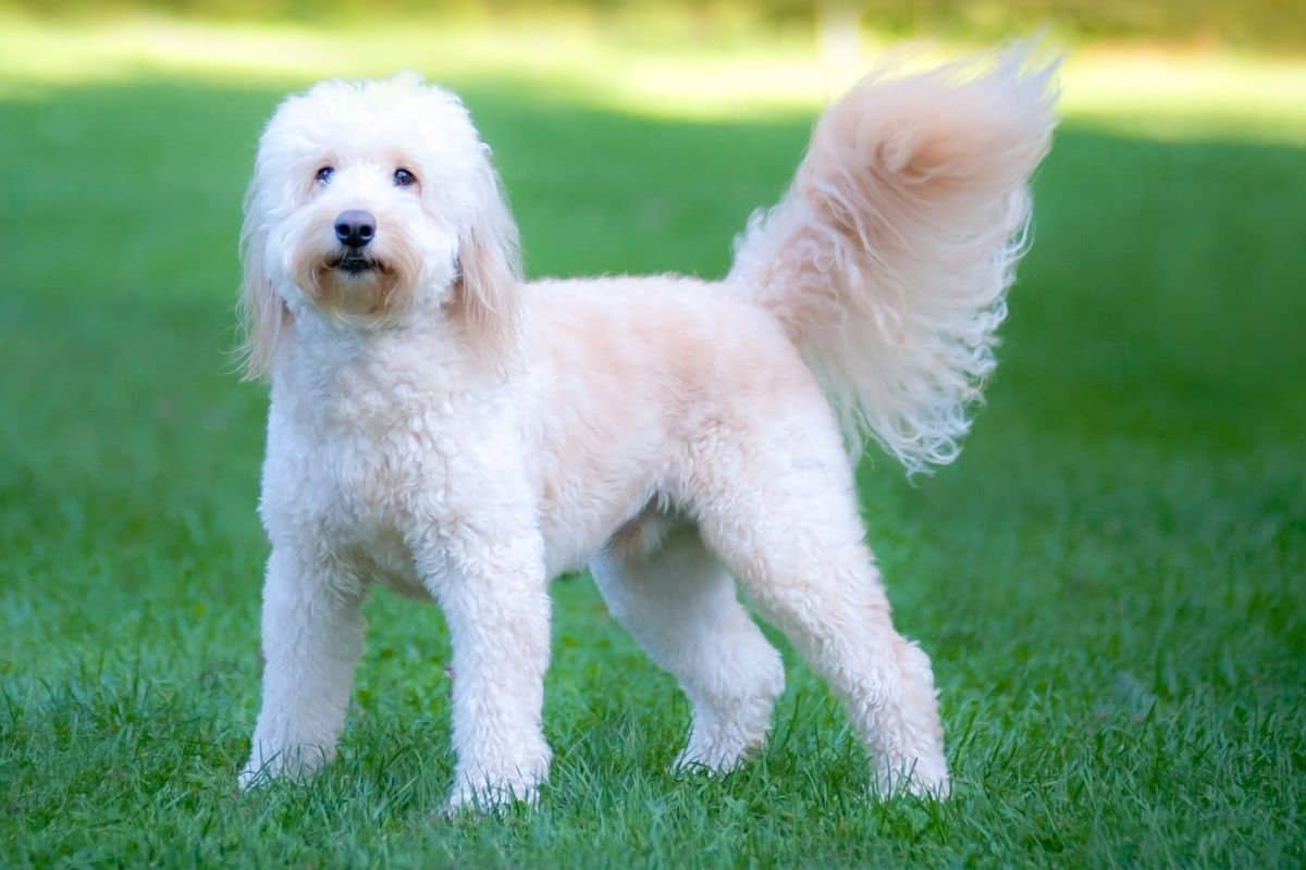 Goldendoodle dog: The popular family pet