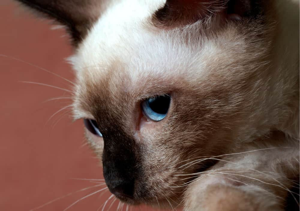 best reasons to not buy a Siamese cat