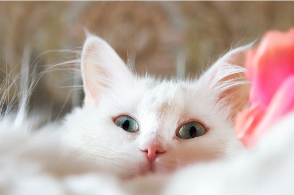 Are Turkish Angora Cats Friendly?
