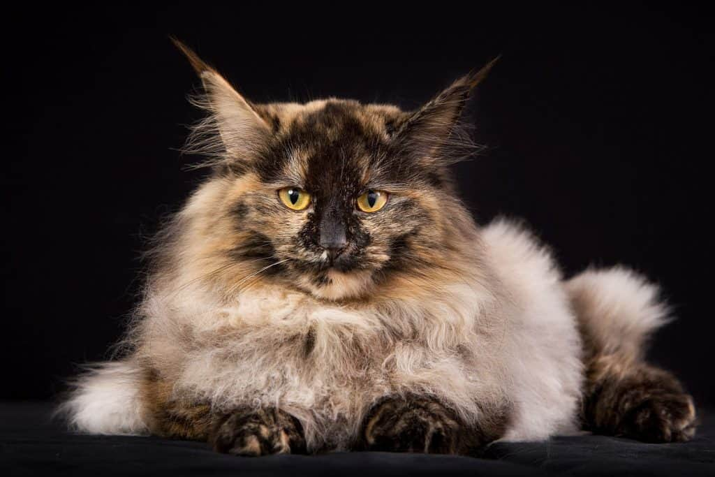 Are Maine Coons aggressive? An aggressive looking Maine coon with orange eyes