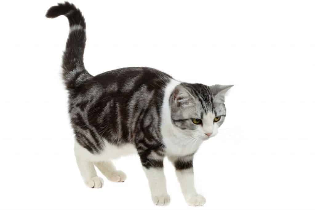 Amercian shorthair cat with tabby pattern