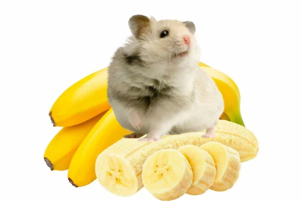 Can hamsters eat bananas? A Hamster sitting on a peeled banana