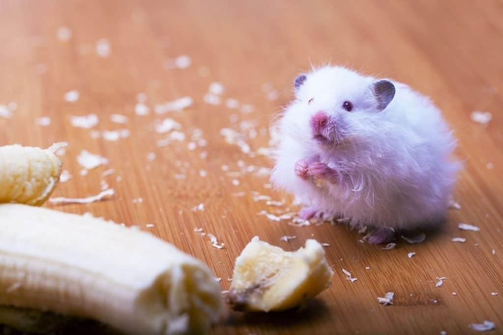 A white hamster eating a banana