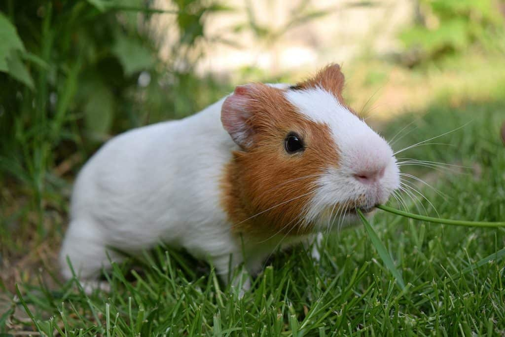 A guinea pig munching a stalk of grass might prefer to eat green beans