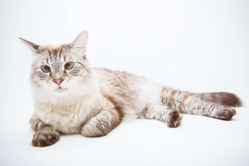 What Is A Lynx Point Siamese Cat Pets Kb