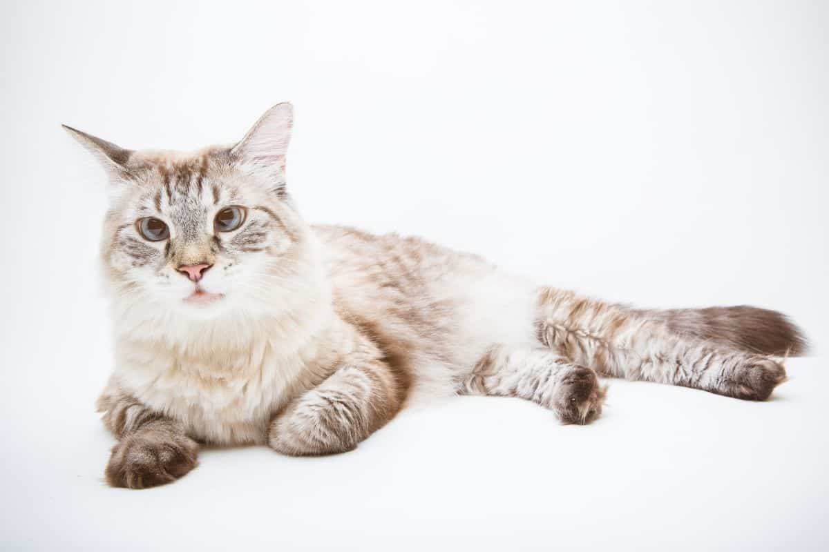Lynx Point Siamese laying down