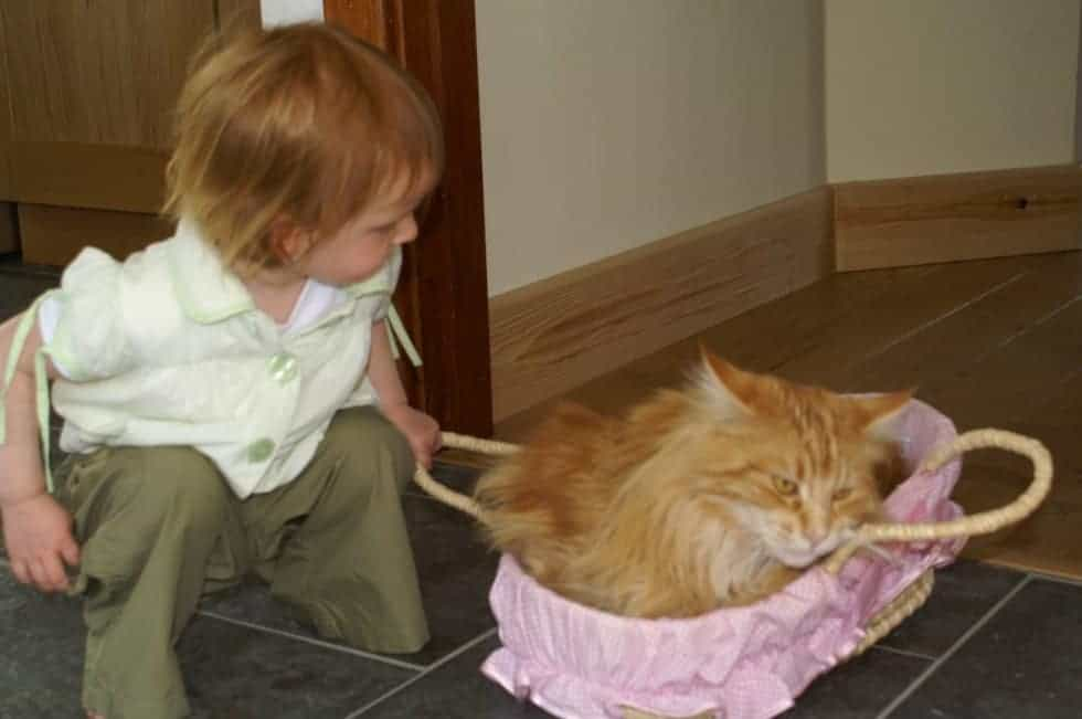 Maine Coon not acting aggressively toward a child