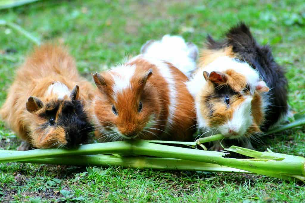 Three guinea pigs eating greens on a lawn
