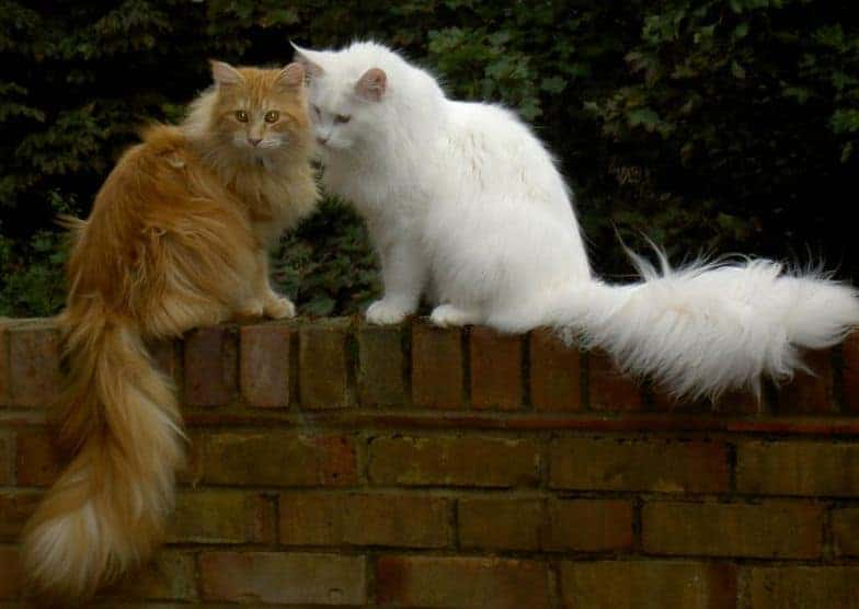A white and a red tabby Maine Coon sitting on a wall